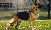 Немецкая овчарка описание породы, фото, характеристика, клички для собак, цена щенков, гипоаллергенный: нет