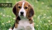 Бигль описание породы, фото, характеристика, клички для собак, цена щенков, гипоаллергенный: нет
