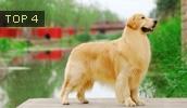 Золотистый ретривер описание породы, фото, характеристика, клички для собак, цена щенков, гипоаллергенный: нет