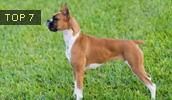 Боксёр описание породы, фото, характеристика, клички для собак, цена щенков, гипоаллергенный: нет