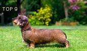 Такса описание породы, фото, характеристика, клички для собак, цена щенков, гипоаллергенный: нет