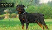 Ротвейлер описание породы, фото, характеристика, клички для собак, цена щенков, гипоаллергенный: нет