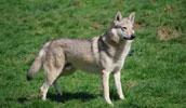 Чехословацкая волчья собака описание породы, фото, характеристика, клички для собак, цена щенков, гипоаллергенный: нет