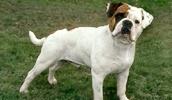 Староанглийский бульдог описание породы, фото, характеристика, клички для собак, цена щенков, гипоаллергенный: нет