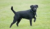 Паттердейл терьер описание породы, фото, характеристика, клички для собак, цена щенков, гипоаллергенный: нет