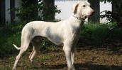 Полигарская борзая описание породы, фото, характеристика, клички для собак, цена щенков, гипоаллергенный: нет