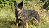 Австралийская пастушья собака описание породы, фото, характеристика, клички для собак, цена щенков, гипоаллергенный: нет