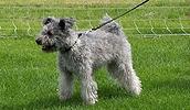 Пуми описание породы, фото, характеристика, клички для собак, цена щенков, гипоаллергенный: нет