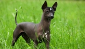 Шолоитцкуинтли описание породы, фото, характеристика, клички для собак, цена щенков, гипоаллергенный: да