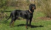 Польская гончая описание породы, фото, характеристика, клички для собак, цена щенков, гипоаллергенный: нет