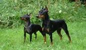 Манчестер-терьер описание породы, фото, характеристика, клички для собак, цена щенков, гипоаллергенный: нет