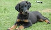 Босерон описание породы, фото, характеристика, клички для собак, цена щенков, гипоаллергенный: нет