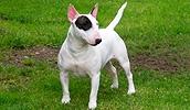 Бультерьер описание породы, фото, характеристика, клички для собак, цена щенков, гипоаллергенный: нет