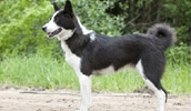 Восточносибирская лайка описание породы, фото, характеристика, клички для собак, цена щенков, гипоаллергенный: нет
