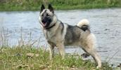 Норвежский элкхаунд описание породы, фото, характеристика, клички для собак, цена щенков, гипоаллергенный: нет