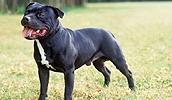Стаффордширский бультерьер описание породы, фото, характеристика, клички для собак, цена щенков, гипоаллергенный: нет