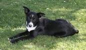 МакНаб описание породы, фото, характеристика, клички для собак, цена щенков, гипоаллергенный: нет