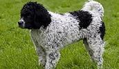 Веттерхун описание породы, фото, характеристика, клички для собак, цена щенков, гипоаллергенный: нет