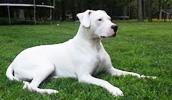 Аргентинский дог описание породы, фото, характеристика, клички для собак, цена щенков, гипоаллергенный: нет