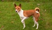 Басенджи описание породы, фото, характеристика, клички для собак, цена щенков, гипоаллергенный: да