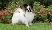 Папильон описание породы, фото, характеристика, клички для собак, цена щенков, гипоаллергенный: нет