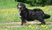 Бернский зенненхунд описание породы, фото, характеристика, клички для собак, цена щенков, гипоаллергенный: нет