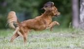 Русский той-терьер описание породы, фото, характеристика, клички для собак, цена щенков, гипоаллергенный: нет