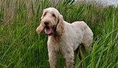 Спиноне описание породы, фото, характеристика, клички для собак, цена щенков, гипоаллергенный: нет