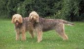 Оттерхаунд описание породы, фото, характеристика, клички для собак, цена щенков, гипоаллергенный: нет