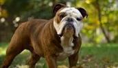 Миниатюрный бульдог описание породы, фото, характеристика, клички для собак, цена щенков, гипоаллергенный: нет