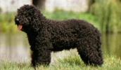 Барбет описание породы, фото, характеристика, клички для собак, цена щенков, гипоаллергенный: да