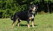 Энтлебухер зенненхунд описание породы, фото, характеристика, клички для собак, цена щенков, гипоаллергенный: нет