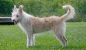 Португальский поденгу описание породы, фото, характеристика, клички для собак, цена щенков, гипоаллергенный: нет