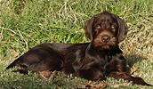 Пудельпойнтер описание породы, фото, характеристика, клички для собак, цена щенков, гипоаллергенный: нет