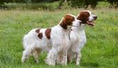 Ирландский красно-белый сеттер описание породы, фото, характеристика, клички для собак, цена щенков, гипоаллергенный: нет