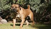 Бурбуль описание породы, фото, характеристика, клички для собак, цена щенков, гипоаллергенный: нет