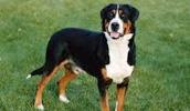 Большой швейцарский зенненхунд описание породы, фото, характеристика, клички для собак, цена щенков, гипоаллергенный: нет