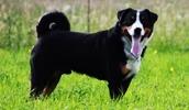 Аппенцеллер зенненхунд описание породы, фото, характеристика, клички для собак, цена щенков, гипоаллергенный: нет