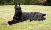 Ризеншнауцер описание породы, фото, характеристика, клички для собак, цена щенков, гипоаллергенный: да