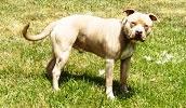 Американский питбультерьер описание породы, фото, характеристика, клички для собак, цена щенков, гипоаллергенный: нет