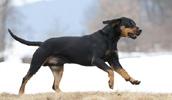 Австрийский гладкошерстный бракк описание породы, фото, характеристика, клички для собак, цена щенков, гипоаллергенный: нет