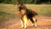 Бельгийская овчарка тервюрен описание породы, фото, характеристика, клички для собак, цена щенков, гипоаллергенный: нет