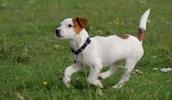 Джек-рассел-терьер описание породы, фото, характеристика, клички для собак, цена щенков, гипоаллергенный: нет