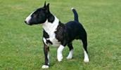 Миниатюрный бультерьер описание породы, фото, характеристика, клички для собак, цена щенков, гипоаллергенный: да