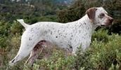 Бурбонский бракк описание породы, фото, характеристика, клички для собак, цена щенков, гипоаллергенный: нет