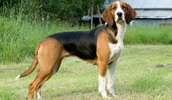 Финская гончая описание породы, фото, характеристика, клички для собак, цена щенков, гипоаллергенный: нет