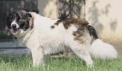 Айди описание породы, фото, характеристика, клички для собак, цена щенков, гипоаллергенный: нет