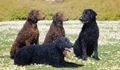 Курчавошерстный ретривер описание породы, фото, характеристика, клички для собак, цена щенков, гипоаллергенный: нет