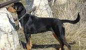 Трансильванская гончая описание породы, фото, характеристика, клички для собак, цена щенков, гипоаллергенный: нет