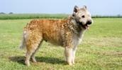 Бельгийская овчарка лакенуа описание породы, фото, характеристика, клички для собак, цена щенков, гипоаллергенный: нет